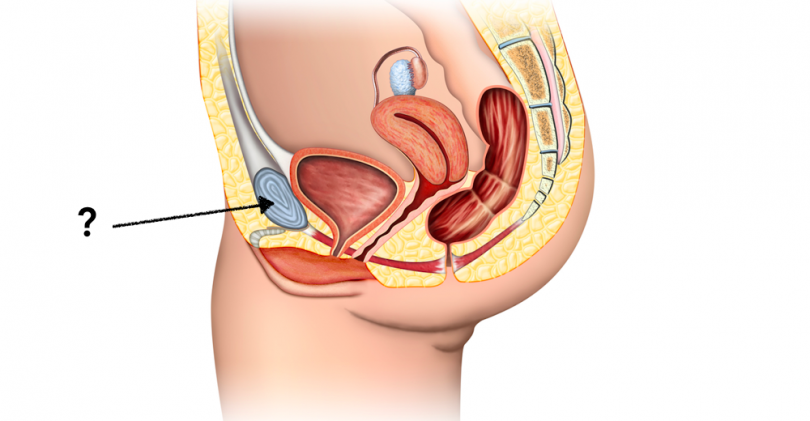 This female anatomy quiz will test your reproductive skills magiquiz this structure supports the internal reproductive organs what is it ccuart Gallery